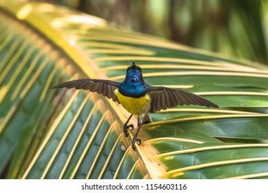 Newton's sunbird, male, beautiful bird in Sao Tome and Principe, Anabathmis newtonii