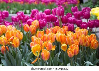 New-York Tulips