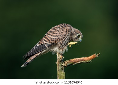 Next step of the young european kestrel (Falco tinnunculus) on the old branch with a nice green defocused background