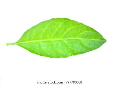 Ngai Camphor leaves on a white background.