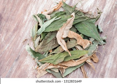 Ngai Camphor Tree, Camphor Tree, green and dried leaves have with medical properties