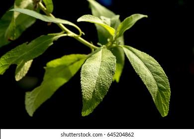Ngai Camphor Tree, Camphor Tree, medicinal plants.