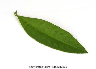 Ngai Camphor Tree,green leaves have property medicine.