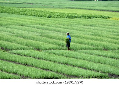 Nganjuk, Indonesia - December 20, 2018: Green expanse of rice fields who belong to a shallot farmer who thrives in Nganjuk, East Java, Indonesia