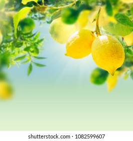 nging Lemon Fruits in Lemon garden of Sorrento with copy space on summer blue sky