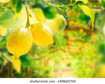 nging Lemon Fruits in Lemon garden of Sorrento with summer blue sky