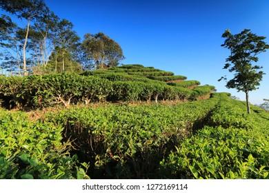 Nglinggo tea plantaion Kulonprogo, Yogyakarta, Indonesia.