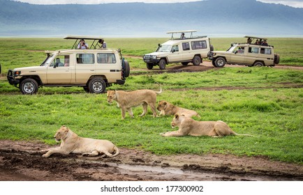 NGORONGORO TANZANIA - January 2: Tourists  in Cars watching a group of lionesses during a typical day of a safari on January 2, 2014 in Ngorongoro crater Tamzania