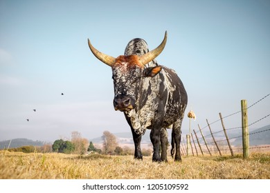 Nguni Bull standing in field in South Africe