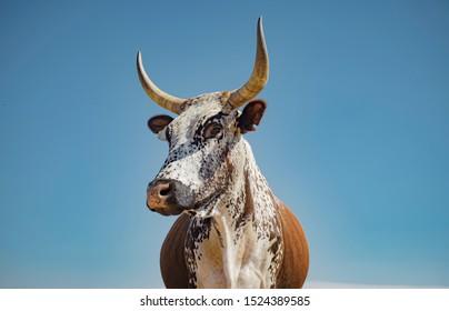 Nguni cattle head and shoulders