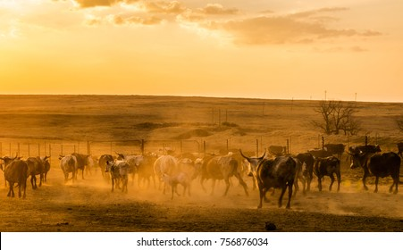 nguni cattle at sunset on a farm in Africa