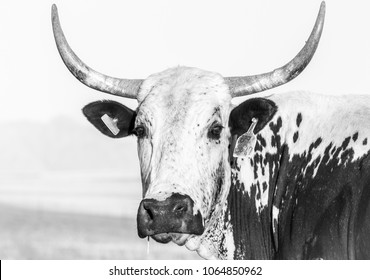 Nguni cow portrait in black and white