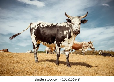 Nguni cow standing in field in South Africa