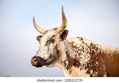 Nguni cows close up in South Africa