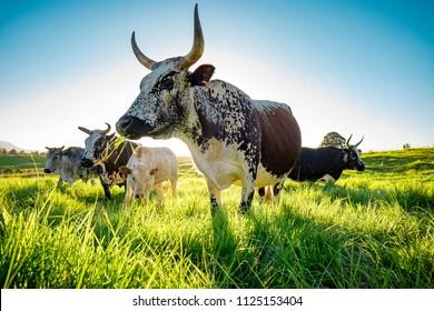 Nguni herd in field