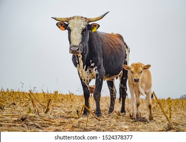 Nguni mother and calf standing in a field