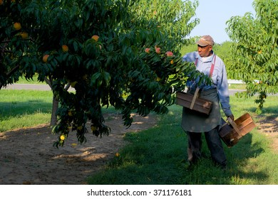 Niagara on the Lake, Ontario, Canada - August 28, 2015: A migrant worker picking peaches in the early morning on a fruit farm.
