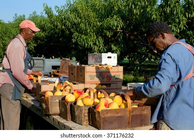 Niagara on the Lake, Ontario, Canada - August 28, 2015: Two migrant workers sorting and packing peaches in the early morning sun  for transport to market from a fruit farm