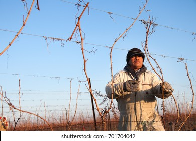 Niagara-on-the-Lake, Canada - March 29, 2010:  A Mexican migrant worker trims the vines of a vineyard  in Niagara-on-the-Lake. The worker has been attending to the vines and grapes since early winter.