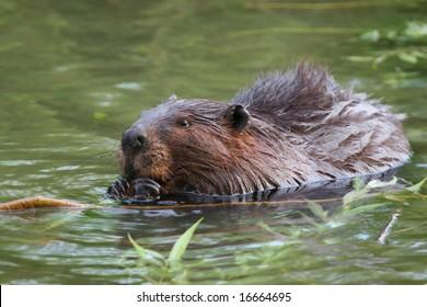 nibbling beaver in his habitat, focus on face