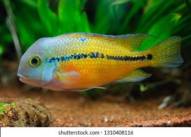 Nicaragua Cichlid (Hypsophrys nicaraguensis) fish in home aquarium