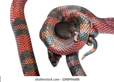 Nicaraguan Milk Snake (Lampropeltis triangulum) killling a brown mouse (Mus musculus). White background cut out.