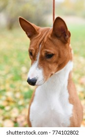 nice adult red Basenji dog portrait on nature