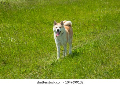 Nice akita dog in the field