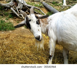 nice animal - detail of a goat eating grass