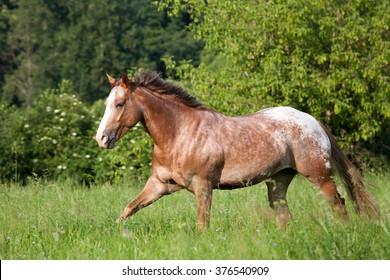 Nice appaloosa horse running