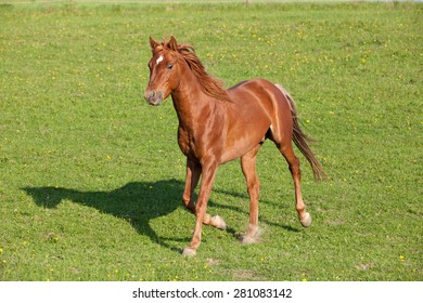 Nice arabian horse running on pasture