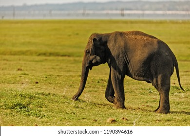 nice Asiatic elephant (Elephas maximus) at  National park Minneriya