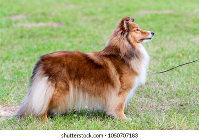 Nice attentive fur sable white shetland sheepdog, little sheltie stands on green grass. Small collie, lassie dog show portrait in standing position in summer park