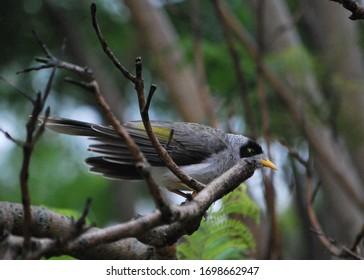 Nice Australian bird Noisy Miner, closeup