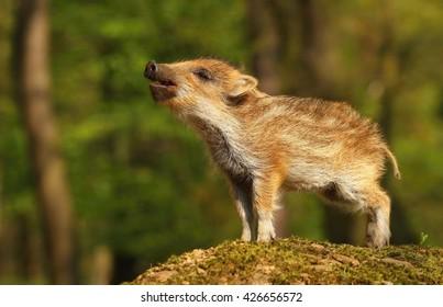 Nice Baby Wild Boar