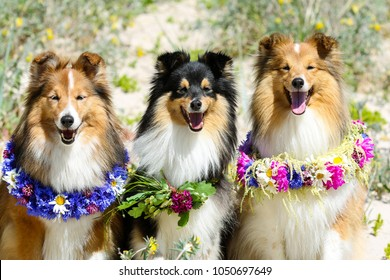 Nice, beautiful smiling sable white and tricolor shetland sheepdog, shelties portrait with colorful flowers circlets. Little collie, small lassie on hot midsummer day. Cute sheltie
