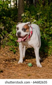 nice and beautiful white bulldog wearing neckpiece on american flag and watching over its small green ball shoot in autumn forest using a flash strobe
