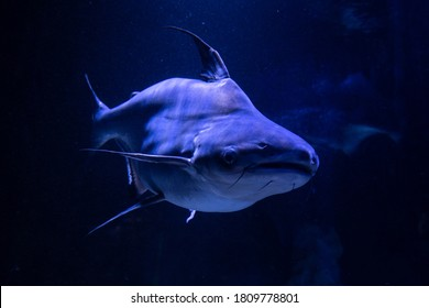Nice big catfish in freshwater aquarium nature