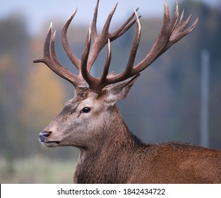 Nice big deer in autumn colours. deer portrait on dark background.Grazing animal in natural background, space for text, horizontal. Deer head with big horns close up.