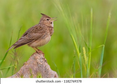 Nice bird Crested lark (Galerida cristata) from region Castilla-La Mancha in Spain.  Magnificent and cute little passerine bird Crested lark sitting on a rock and singing in the nature habitat.