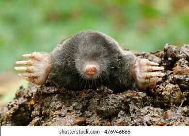 Nice black mole