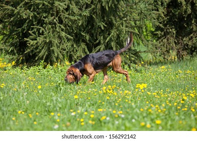 Nice bloodhound on meadow