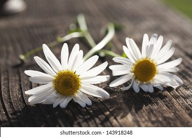 nice blossom of daisy on old wooden texture background
