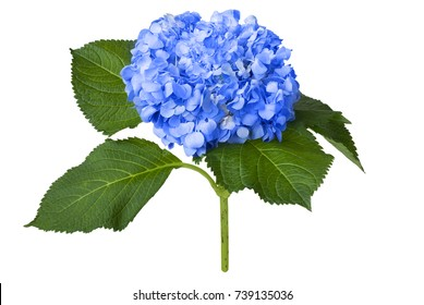 Nice blue hydrangea isolated on a white background
