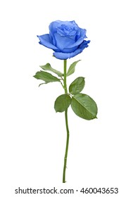 Nice blue rose isolated on a white background