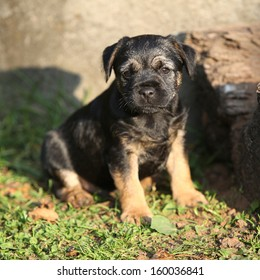 Nice border terrier puppy looking at you
