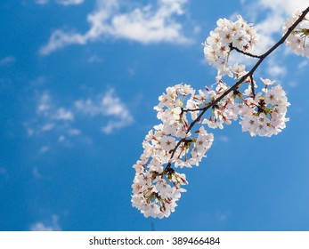 Nice branch of Japan cherry blossom tree, full bloom