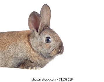 Nice brown bunny isolated on white side