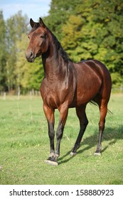 Nice brown warmblood with black mane in autumn