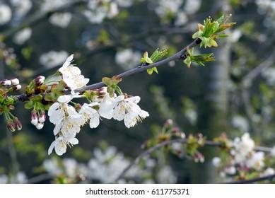 nice cherry blossoms